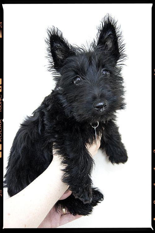 Puppyshot